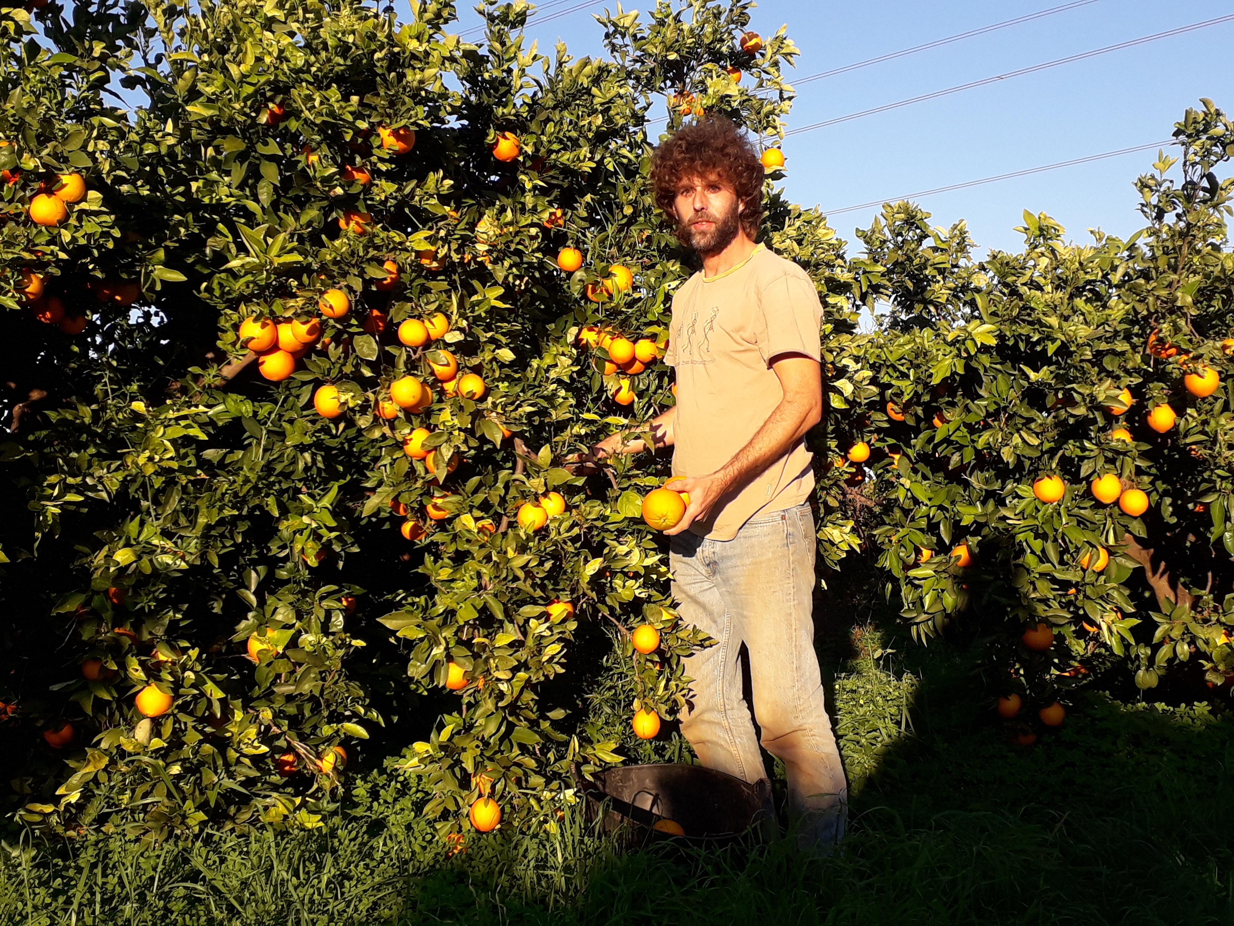 cueillette d'oranges
